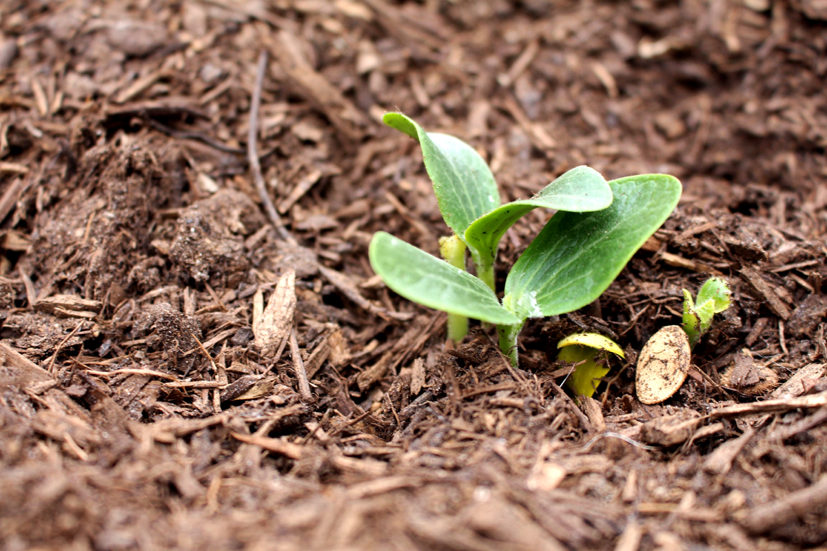 How to apply mulch to a vegetable garden - Image of small seedlings sprouted in soil and mulch