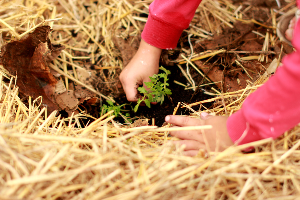 How to apply mulch to a vegetable garden - Image of a child's hands planting a small tomato plant in the soil under a thick layer of straw mulch
