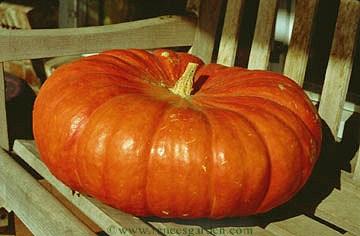 tips for growing pumpkins - Growing Halloween Pumpkins
