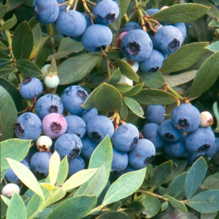 July is National Blueberry Month. Growing blueberries is easy, but picking out the right plants for your yard might be a bit daunting. No need to worry, though. We'll help you sort out the different types and find the right plants for you!