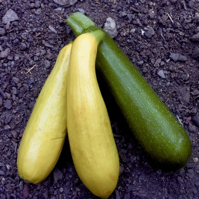 Summer Squash on dirt small