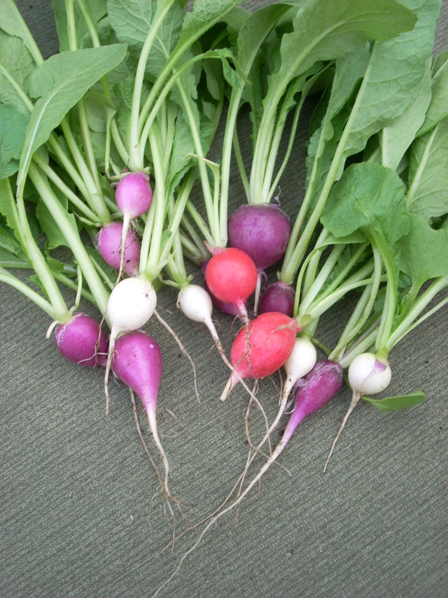 Top Ten Plants for a Beginner Garden: Radish