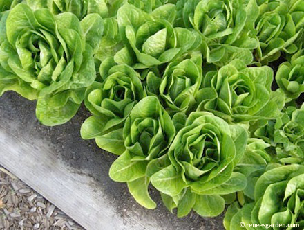 Top Ten Plants for a Beginner Garden: Lettuce