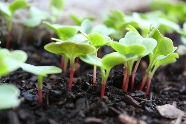 sprouts in garden