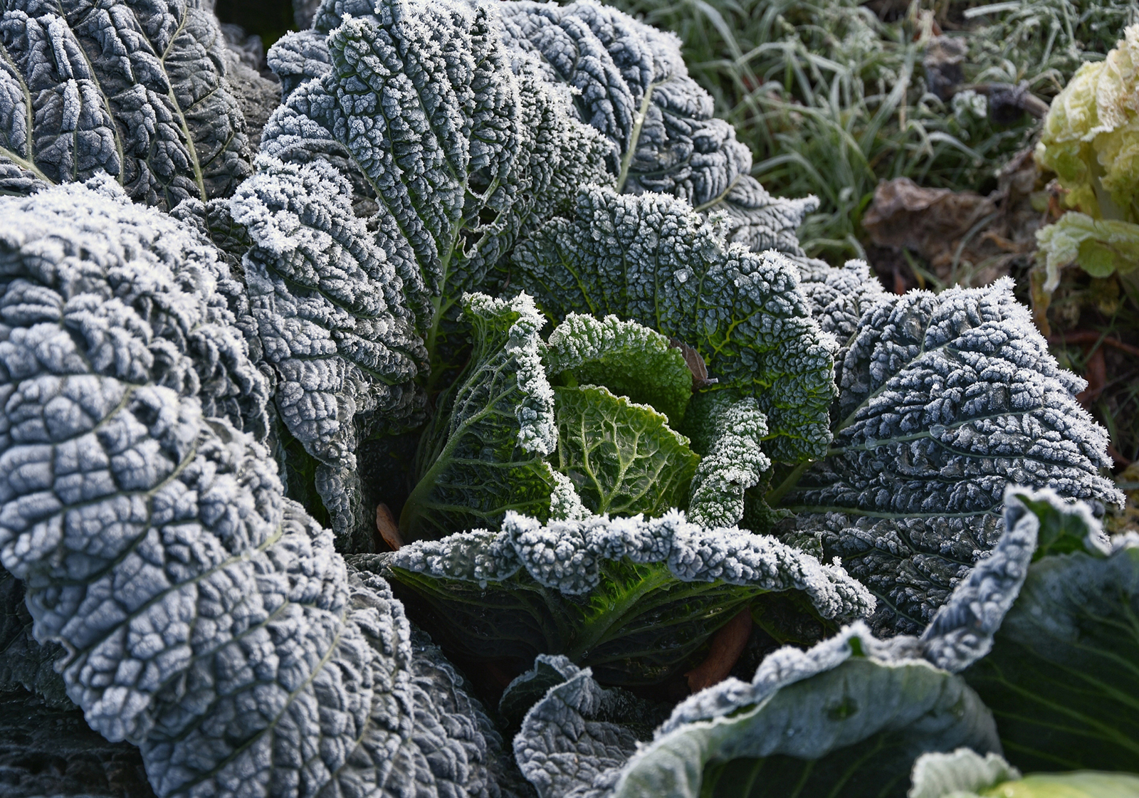 planning a winter vegetable garden image of a cabbage plant with frost on the leaves
