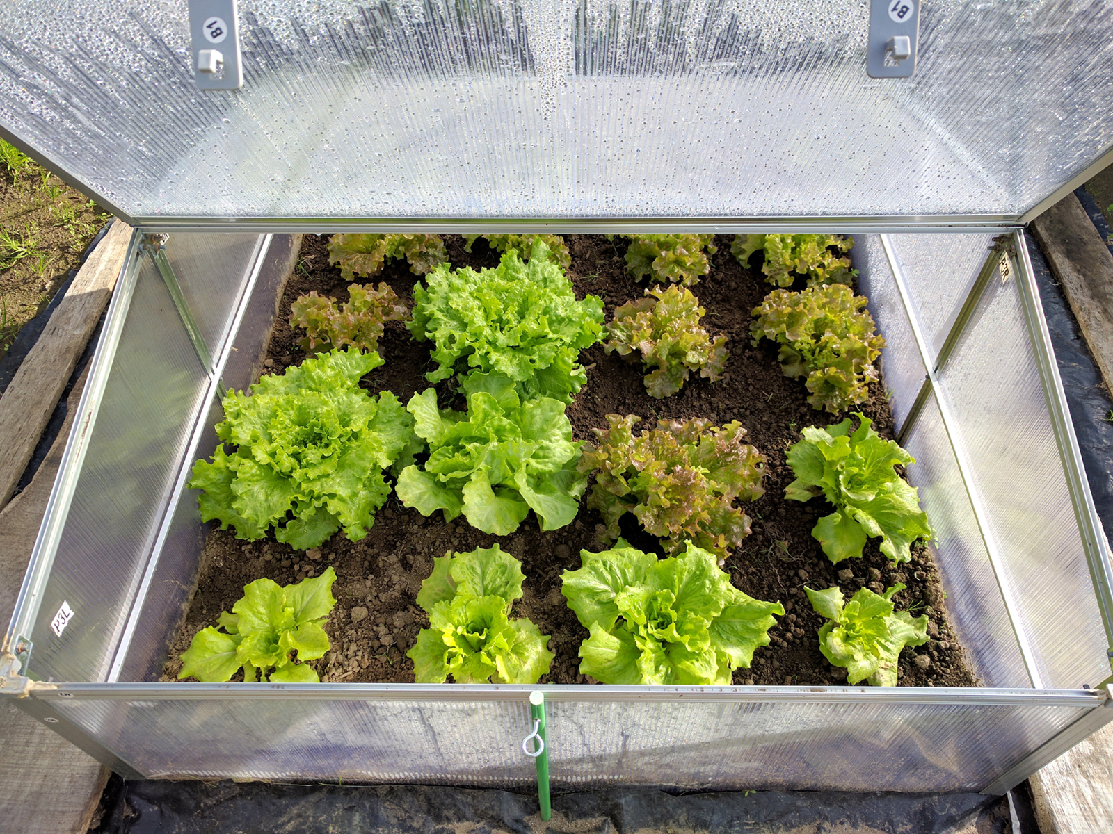 Extending Your Summer Garden image lettuces in a cold frame