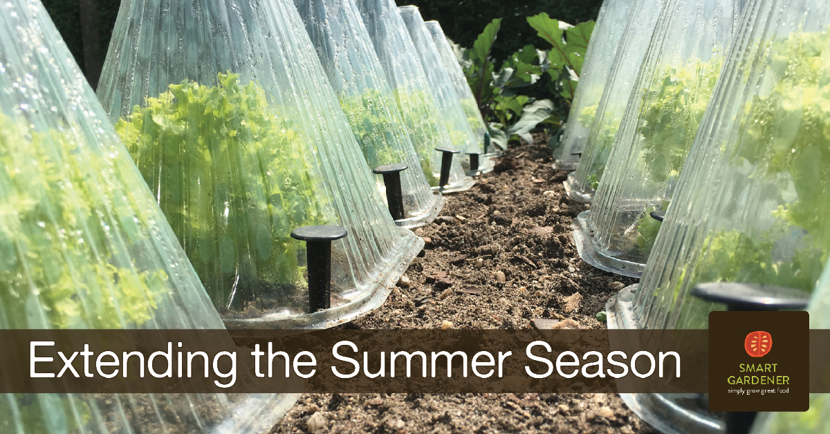 how to extend your summer garden growing season image of plastic cloches covering endive plants