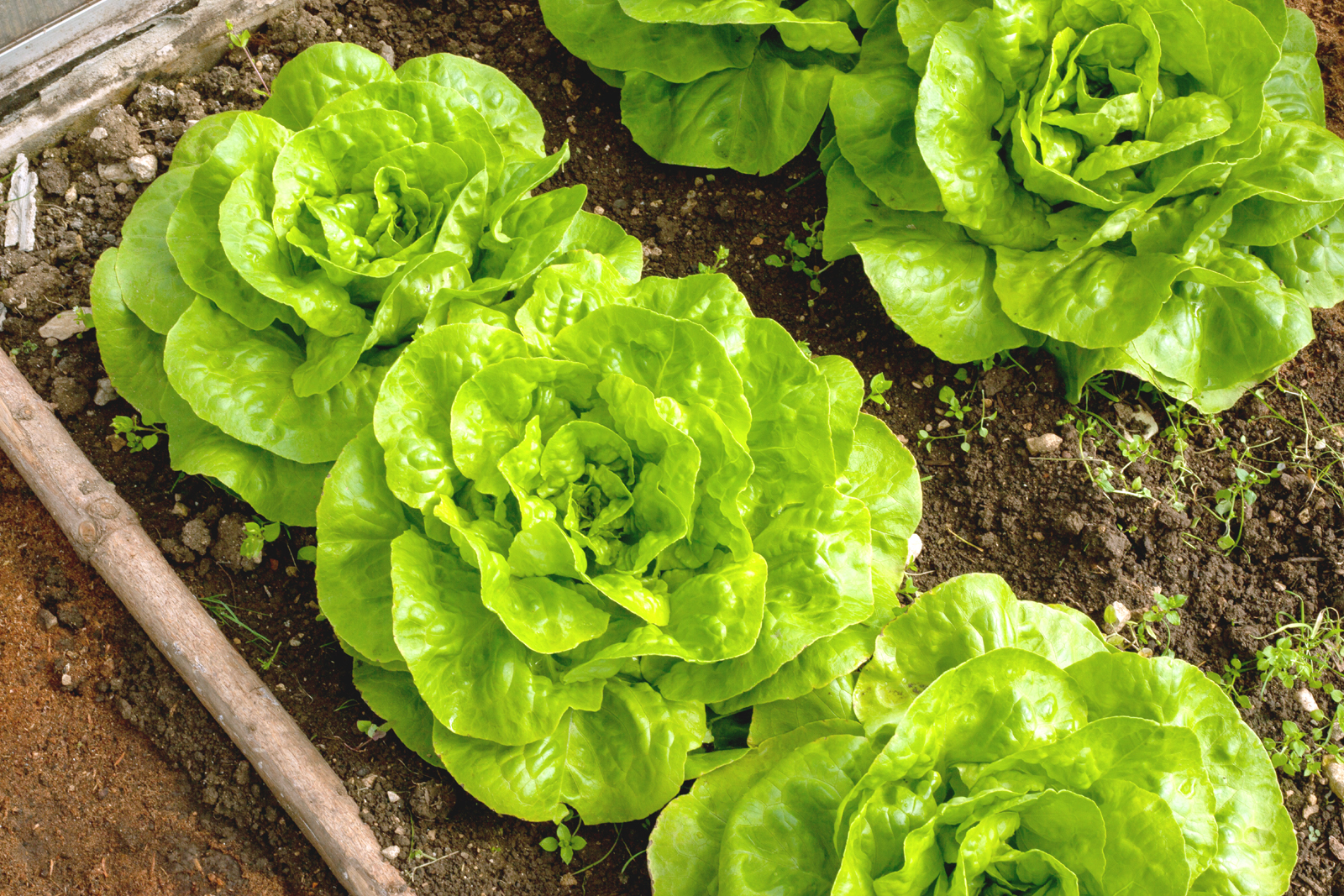 what can I grow now image of lettuce plants in a garden bed