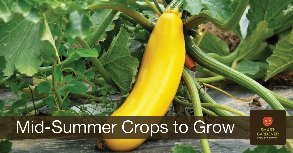 "what can I grow now image yellow zucchini on a green plant with the text ""Mid-Summer Crops to Grow"" and the Smart Gardener logo"