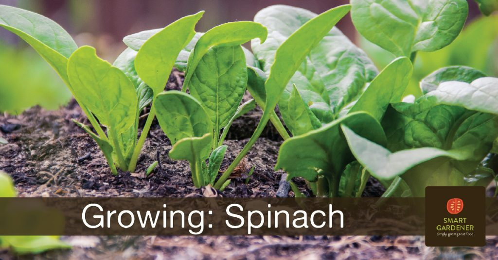 Tips for Growing Spinach - header