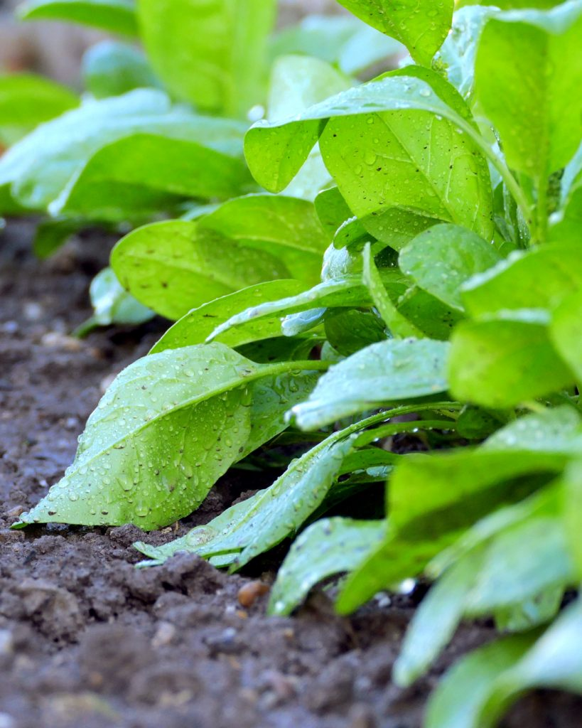 Tips for Growing Spinach - spinach in the garden
